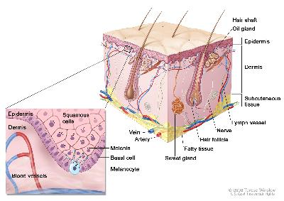 Anatomy of the skin with melanocytes; drawing shows normal skin anatomy, including the epidermis, dermis, hair follicles, sweat glands, hair shafts, veins, arteries, fatty tissue, nerves, lymph vessels, oil glands, and subcutaneous tissue. The pullout shows a close-up of the squamous cell and basal cell layers of the epidermis above the dermis with blood vessels. Melanin is shown in the cells. A melanocyte is shown in the layer of basal cells at the deepest part of the epidermis.