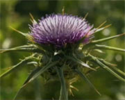 Photo of milk thistle