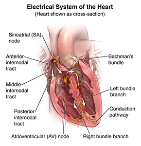 Cross section of the heart showing electrical pathways