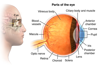 Parts of the eye